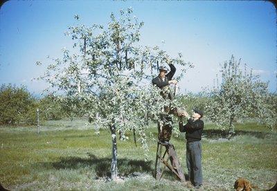 018 811 paul smith + frank coon harvesting pickerel 5-13-41.jpg
